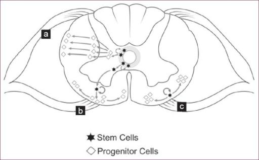 Progenitor glial cell origin theories. (a) Post natal t
