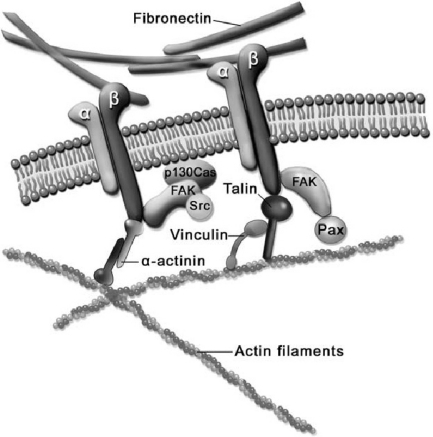 f2-ijms-12-08217:Cell-Biomaterial Mechanical Interaction