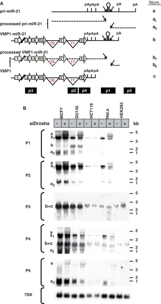 VMP1 and pri-miR-21 transcripts by northern blotting