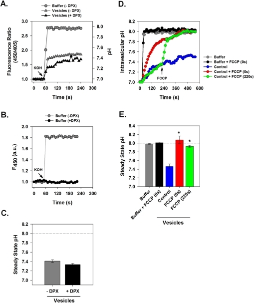 ppat-1001087-g002:Intracellular Proton Conductance of the