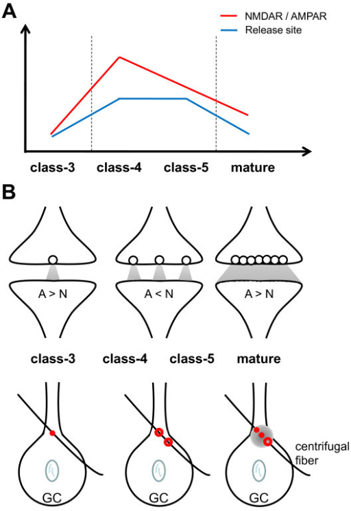 Figure 8:Dynamic development of the first synapse