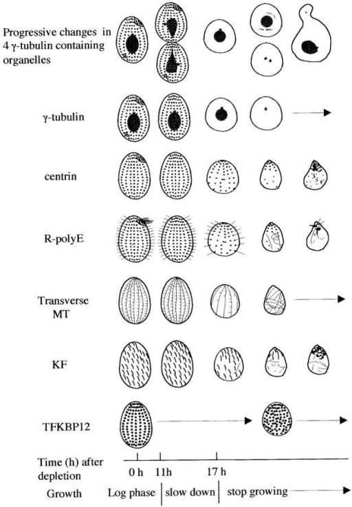 Summary diagram of the changes observed in Tetrahymena