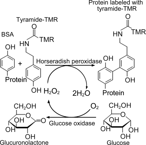 Scheme of the enzymatic reaction.This scheme shows bind
