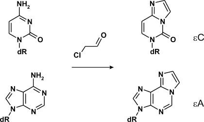Chloroacetaldehyde reacts with unpaired cytosine and ad