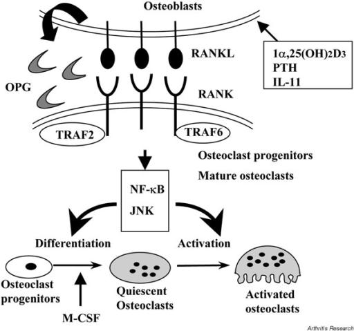 A schematic representation of osteoclast differentiatio