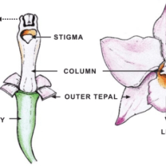 Diagram Of A Flowering Plant With Label 2003 Harley Road King Wiring Schematic An Orchid Flower Open I