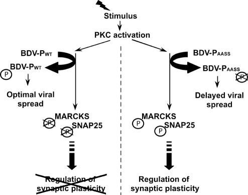 A model of P-mediated interference with PKC-dependent