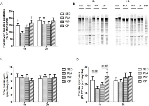Muscle protein synthesis.(A) Quantification of puromyci