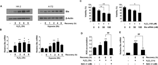 Induction of Bis expression by oxidative stress in HK-2