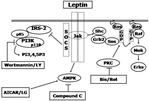 Figure 5:Macropinocytosis is decreased in diabetic mouse