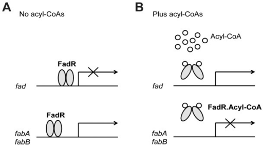 Regulation of fatty acid metabolism by E. coli FadR.A