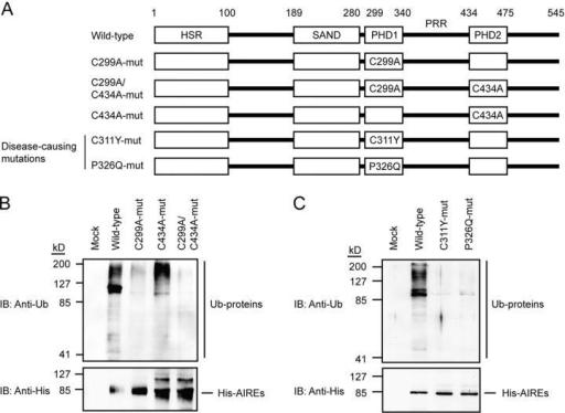 Mutations in PHD1 affect E3 ligase activity. (A) Schema
