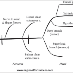 Ulnar Nerve Diagram 70v Speaker Wiring Schematic Of The Course And Branches Uln Open I