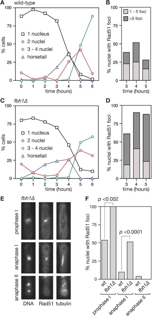 Rad51 foci accumulate to higher levels in a fbh1Δ muta