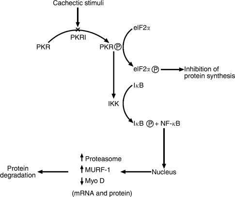 fig6:Attenuation of muscle atrophy in a murine model of