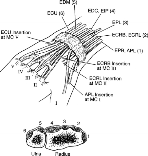 Extensor compartments of the wrist. The ECRL and ECRB a