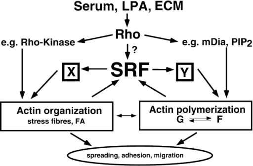 Model depicting the influence of SRF on cytoskeletal st