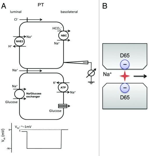 Figure 3. Na+ transport mechanism in the proximal tubu