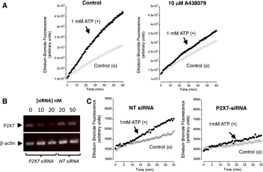 Evidence for P2X7 receptor expression by siRNA knockdow