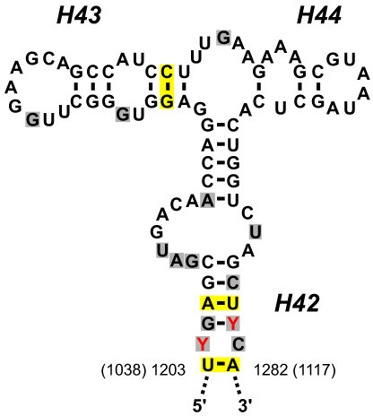 Sequence and structure of the LSU rRNA region that bind