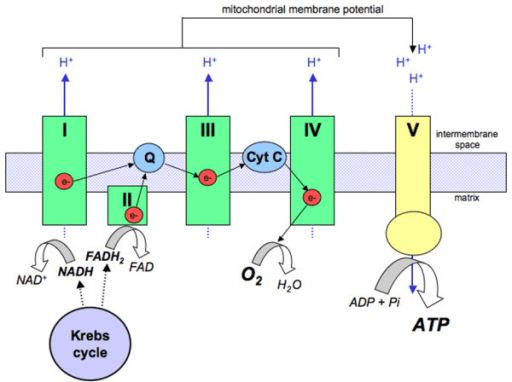 electron transport chain diagram for dummies fire alarm control panel wiring schematic representation of oxidative phosphorylation w open i within the mitochondria electrons donated from nadh and fadh2 pass