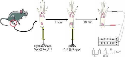 Plasmid DNA transfection in murine foot muscles by in v