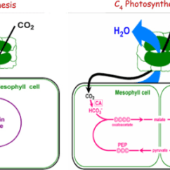 Mesophyll Cell Diagram Simple Respiration C4 Plant Wiring All Data A Schematic Of C3 And Photosynthesis Open I