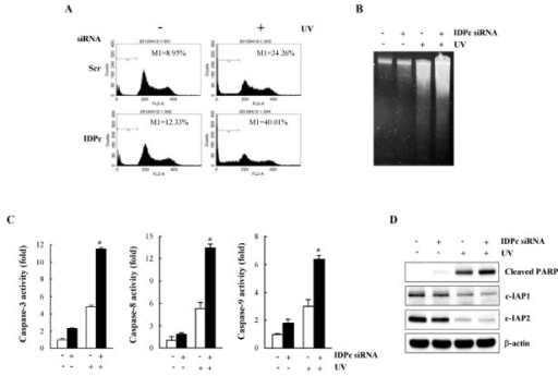 UVB-induced apoptosis of HaCaT cells transfected with I