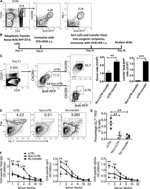 Memory Tfh cells promote humoral recall responses. (A