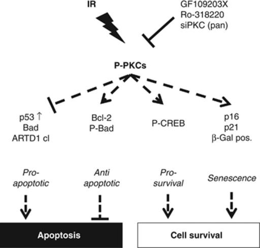 Model of PKC-dependent cellular prosurvival signaling i