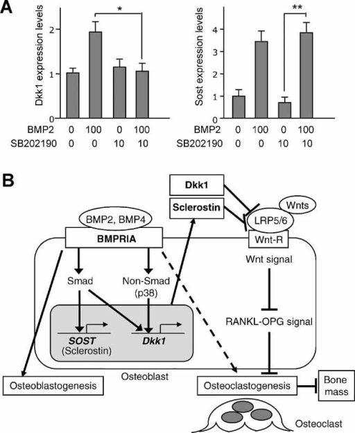 Effects of non-Smad signaling on Dkk1 and Sost expressi
