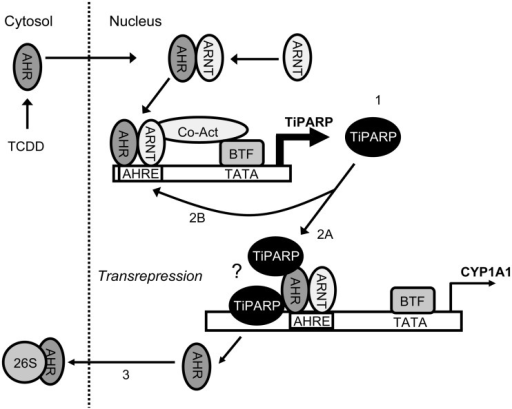 Proposed model of repression of AHR signalling by TiPAR