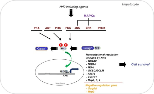 The Nrf2-dependent gene regulation. The Nrf2 released f