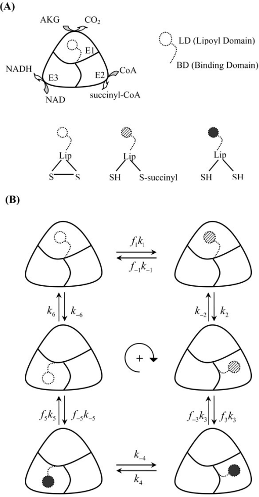 Schematic representation of the proposed mechanism of 2