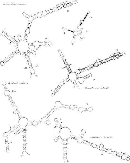 Examplars of ITS2 RNA transcript secondary structures f
