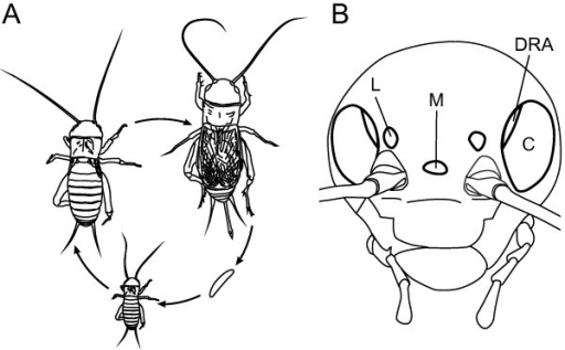 Life cycle and visual organs of the two-spotted cricket