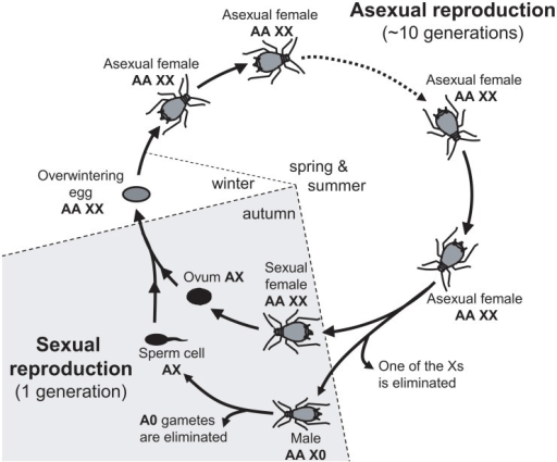 Annual life-cycle of the pea aphid and ploidy levels fo