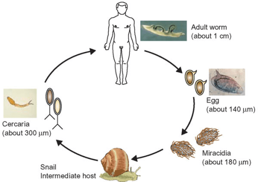 Life Cycle Diagram African Lion Circuit Connection Diagram