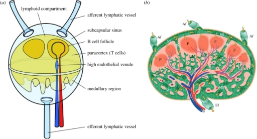 diagram nodes lymphatic system 1989 toyota pickup starter wiring a schematic of lymph node flows arou open i around the lymphoid compartment
