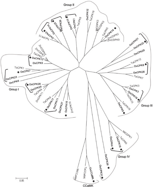 Phylogenetic relationships among rice, wheat, maize and