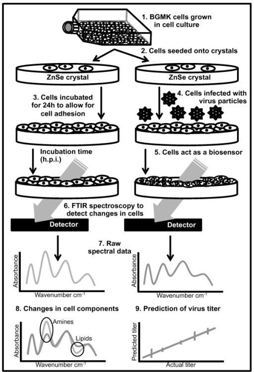 Figure 1:Detection and quantification of poliovirus