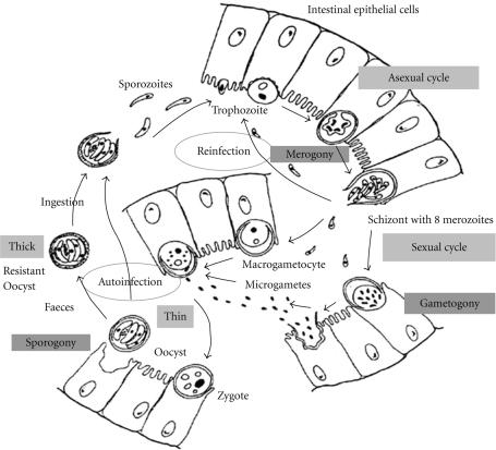 Life cycle of Cryptosporidium in the enterocyte. Follow