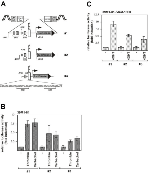 Figure 7:Thrombin induces Egr-1 expression in fibroblasts