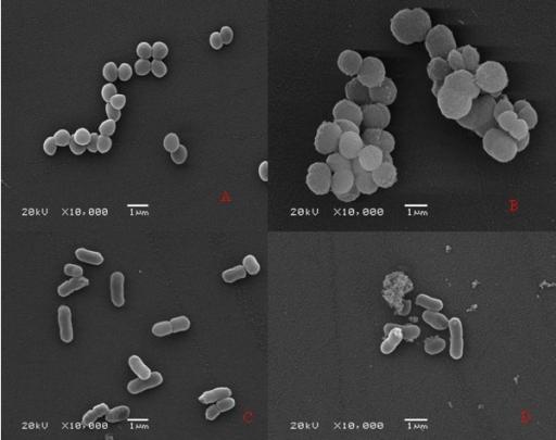 Morphology of Staphylococcus aureus and Klebsiella Pneu ...