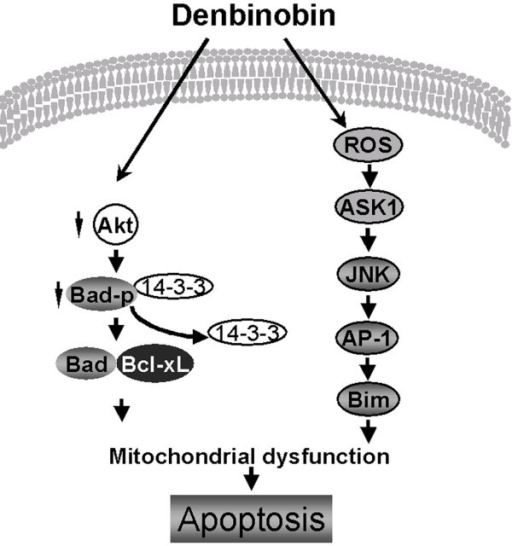 Schematic summary of the apoptotic pathway involved in