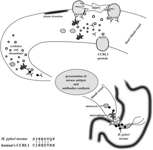 Figure 7:Bacterial Urease and its Role in Long-Lasting