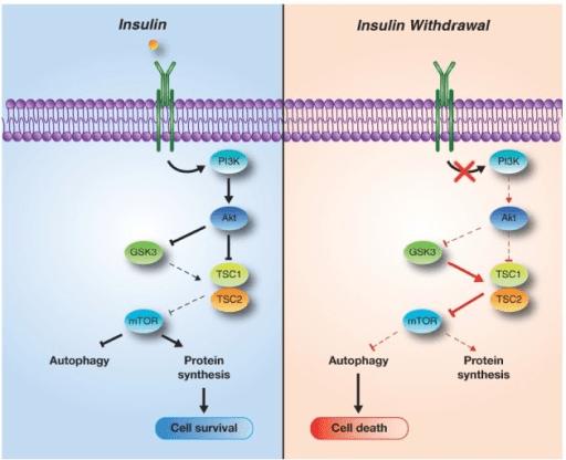 「pi3k pathways insulin」の画像検索結果