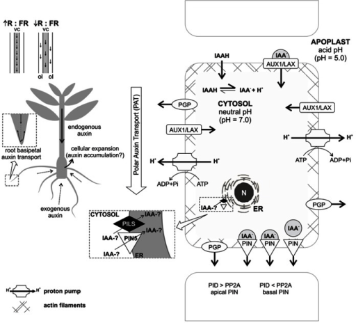 Concept of auxin transport processes probably involved