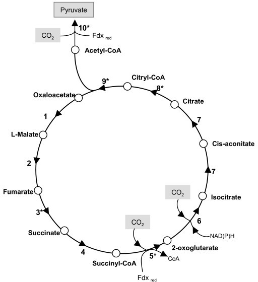 Schematic diagram of the reductive tricarboxylic acid c