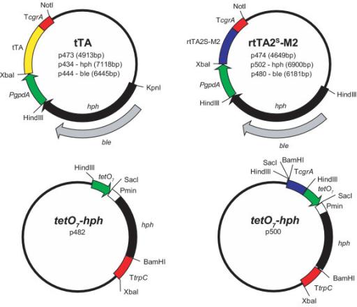 Schematic representation of plasmid constructions. The